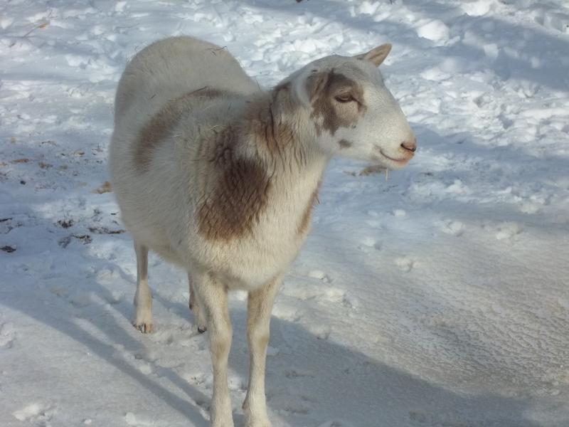 Ewe lamb snow
